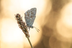 Butterfly in the morning Sun. Blue gossamer winged butterfly in the golden morning sun with blurred sunny background Royalty Free Stock Photos