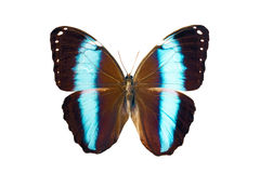 Butterfly - Morpho Achilles Amazonicus Stock Images