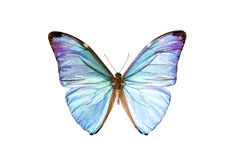 Butterfly - Morpho Adonis Stock Photo