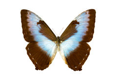 Butterfly - Morpho Cisseis-cisseis Royalty Free Stock Image