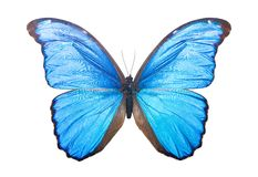 Butterfly Morpho Didius Royalty Free Stock Images