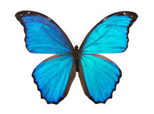 Butterfly morpho Royalty Free Stock Photos
