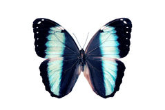 Butterfly - Morpho Helenor Stock Photography