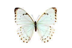 Butterfly, Morpho Luna Stock Photos