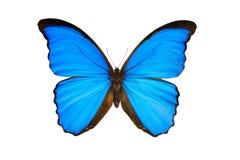 Butterfly morpho nestira stock photography