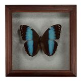 Butterfly Morpho patroclus in frame isolated on white background.  stock images