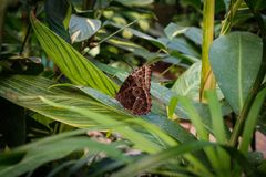 Butterfly Morpho Peleides, the Peleides blue morpho / common mo royalty free stock image