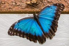 Butterfly Morpho Peleides