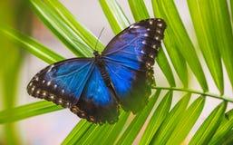 Butterfly Morpho Peleides on Green Leaves