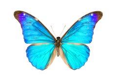 Butterfly, Morpho Rhetenor Eusebes Stock Photo