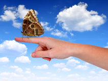 Butterfly Morpho sitting on the hand Royalty Free Stock Photography