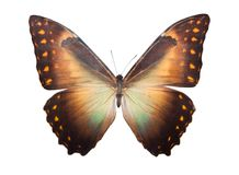 Butterfly Morpho Telemachus Royalty Free Stock Photos