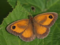 Butterfly moth Stock Images