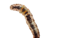 Butterfly moth caterpillar larva Royalty Free Stock Images