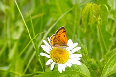 Butterfly mother-of-Pearl large sits on a Daisy flower. Beautiful summer landscape. Environment, clean ecology, nature stock image