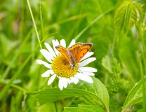 Butterfly mother-of-Pearl large sits on a Daisy flower. Beautiful summer landscape. Environment, clean ecology, nature royalty free stock photos