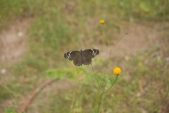 Butterfly, Moths And Butterflies, Insect, Fauna royalty free stock image