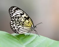 Butterfly, Moths And Butterflies, Insect, Invertebrate Royalty Free Stock Photos