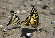 Butterfly, Moths And Butterflies, Insect, Invertebrate stock photos