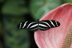 Butterfly, Moths And Butterflies, Insect, Invertebrate royalty free stock images