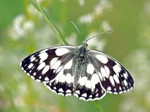 Butterfly, Moths And Butterflies, Insect, Invertebrate Royalty Free Stock Photography