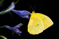 Butterfly, Moths And Butterflies, Insect, Invertebrate Stock Image