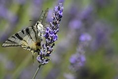 Butterfly, Moths And Butterflies, Insect, Nectar royalty free stock images