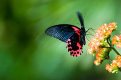 Butterfly in motion Royalty Free Stock Photography