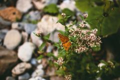 Butterfly in the mountains. Butterfly on a flower by a mountain stream Royalty Free Stock Images
