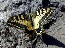 Butterfly in mud. An yellow butterfly sitting on mud Stock Photos