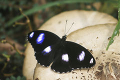 Butterfly on mushroom Royalty Free Stock Photography