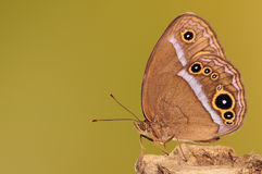 BUTTERFLY/Mycalesis gotama royalty free stock images