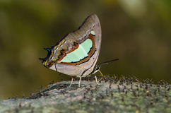 Butterfly named Common Nawab. Scientific name Charaxes athamas.Thailand Stock Photo