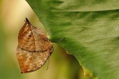 Butterfly natural camouflage. Butterfly using his natural camouflage when sitting on a leaf royalty free stock photography