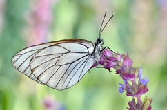 Butterfly in natural habitat (aporia crataegi) Royalty Free Stock Photos