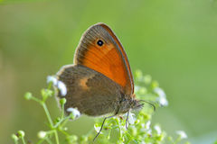 Butterfly in natural habitat (Coenonympha pamphilus) Royalty Free Stock Photography