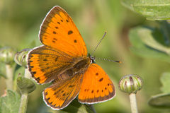Butterfly in natural habitat (Lycaena dispar). Butterfly in natural habitat close-up (Lycaena dispar Royalty Free Stock Images