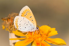 Butterfly in natural habitat (Lycaena dispar) Stock Images
