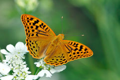 Butterfly in natural habitat (melitaea aethera) Royalty Free Stock Photos