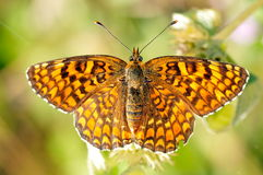 Butterfly in natural habitat (melitaea aethera) Royalty Free Stock Photography