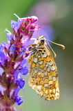 Butterfly in natural habitat (melitaea aethera) Royalty Free Stock Images