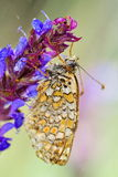 Butterfly in natural habitat (melitaea aethera) Stock Photo