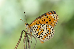 Butterfly in natural habitat melitaea aethera Stock Image