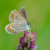 Butterfly in natural habitat (plebejus argus) Royalty Free Stock Photography