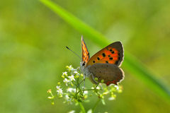 Butterfly in natural habitat (plebejus argus) Stock Image