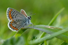 Butterfly in natural habitat (plebejus argus) Stock Photos