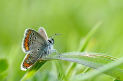 Butterfly in natural habitat (plebejus argus). Butterfly in natural habitat in spring (plebejus argus Royalty Free Stock Photos