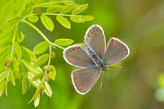 Butterfly in natural habitat (plebejus argus) Royalty Free Stock Images