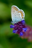 Butterfly in natural habitat (plebejus argus) Royalty Free Stock Image