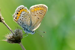 Butterfly in natural habitat (plebejus argus). Butterfly in natural habitat in spring (plebejus argus Stock Photo